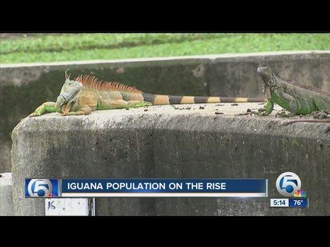 Iguana Population On The Rise