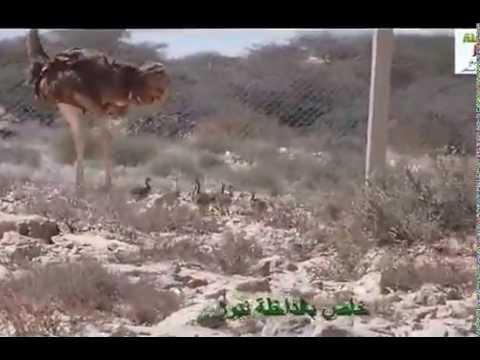 Réintroduction de l'Autruche dans la réserve de Safia, Oued Dahab