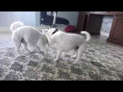 Bichon Frise Dogs Fighting on new Carpet, Playing and having fun