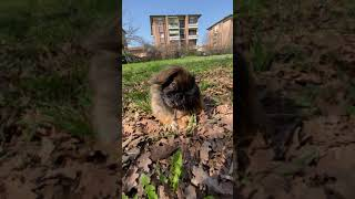 Tashi   Tibetan Spaniel   Park