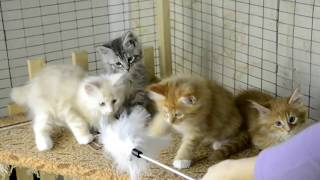 Котята породы мейн-кун. Дата рождения - 02.01.2019