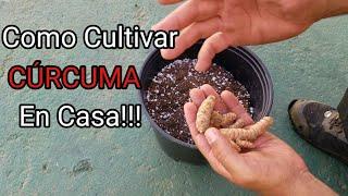 Como cultivar curcuma en casa
