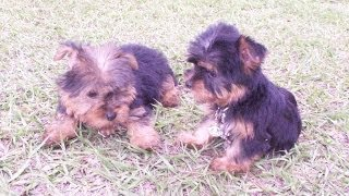 Yorkshire Terrier, Puppies, For, Sale, In, Jackson, Mississippi, Ms, Clinton, Pearl, Horn Lake