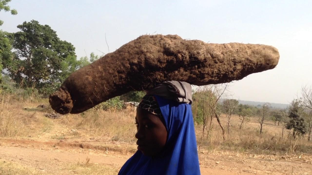 Fulani Girls Carrying Freshly Harvested African Yams