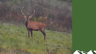 Hunting big Hungarian red stags