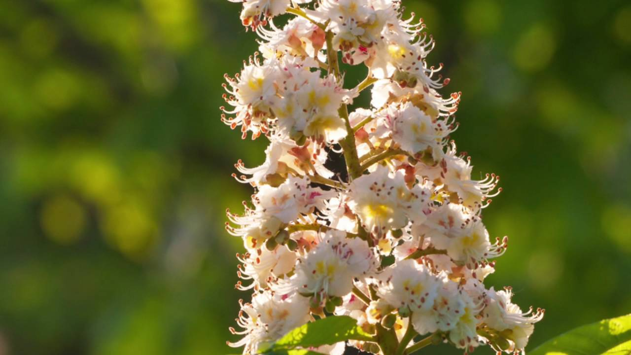 La flor de Bach White Chestnut - Castaño Blanco