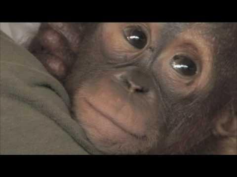Rescuing Peanut the Orangutan