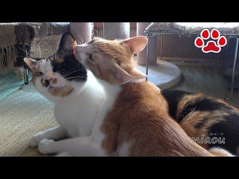 少し成長した子猫【瀬戸のまや日記】Kitten Maya grew a lot