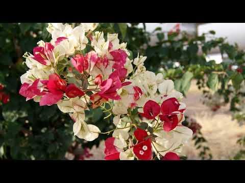 Beautiful Flowers Bougainvillea Variegated