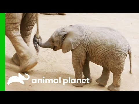 This Baby Elephant Is Learning How To Use Her Trunk | The Zoo: San Diego