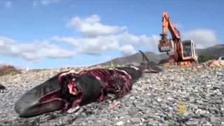 النفايات البلاستيكية تسبب نفوق عشرات الحيتان