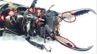 クワガタに付いた大量の寄生虫を駆除したった removing many mites on a stag beetle thumbnail