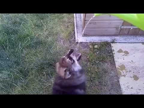 Alfie The Finnish Lapphund playing with water from a watering can