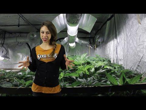 Marihuana Televisión News 32 - Regulación Responsable