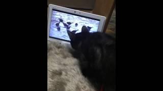 【ほのぼの猫動画】猫が喜ぶ映像見せたらめっちゃ見てくれて助かる!黒猫クロ