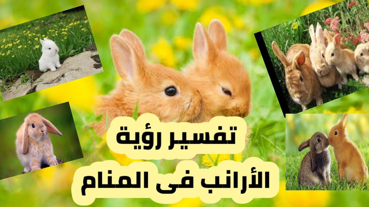 تفسير رؤية الأرانب فى المنام للعزباء والمتزوجة والحامل والمطلقة والرجل Youtube