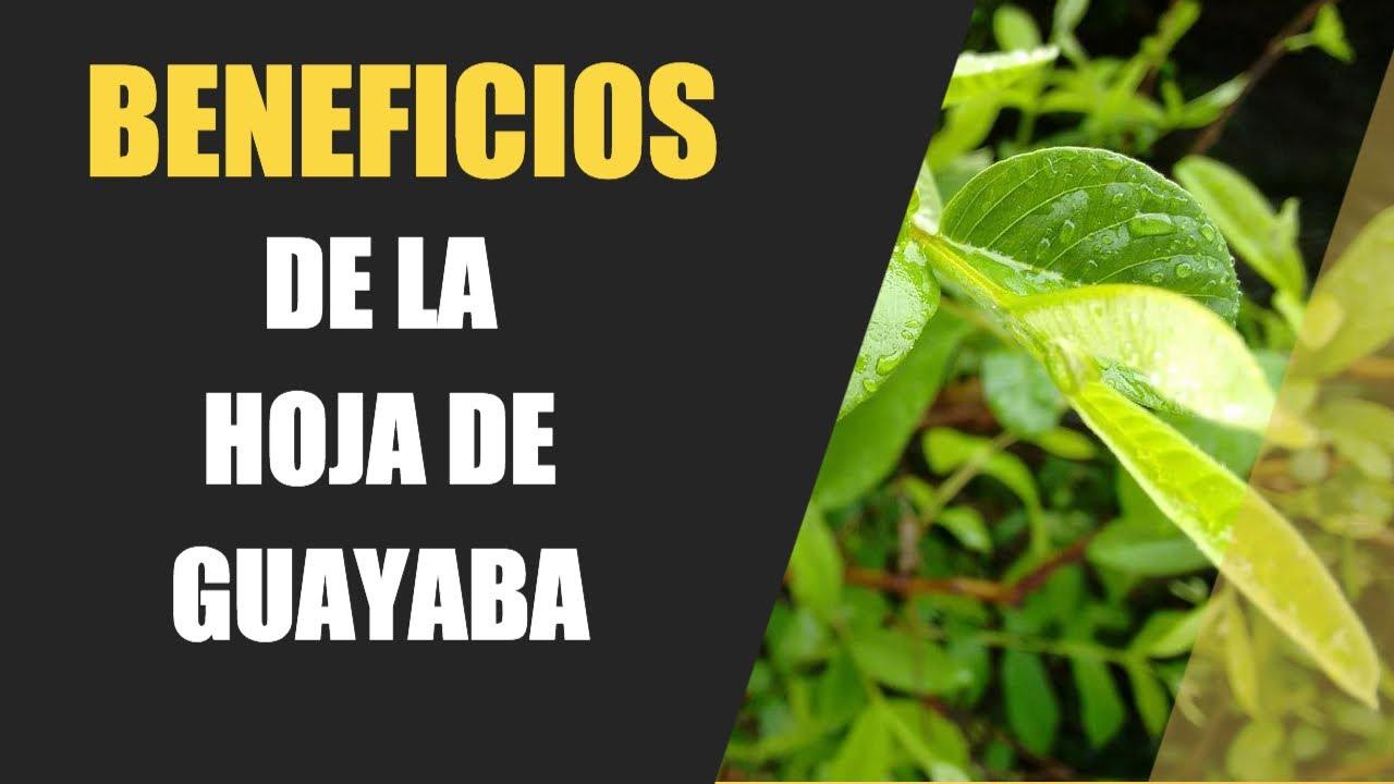 BENEFICIOS DE LA HOJA DE GUAYABA