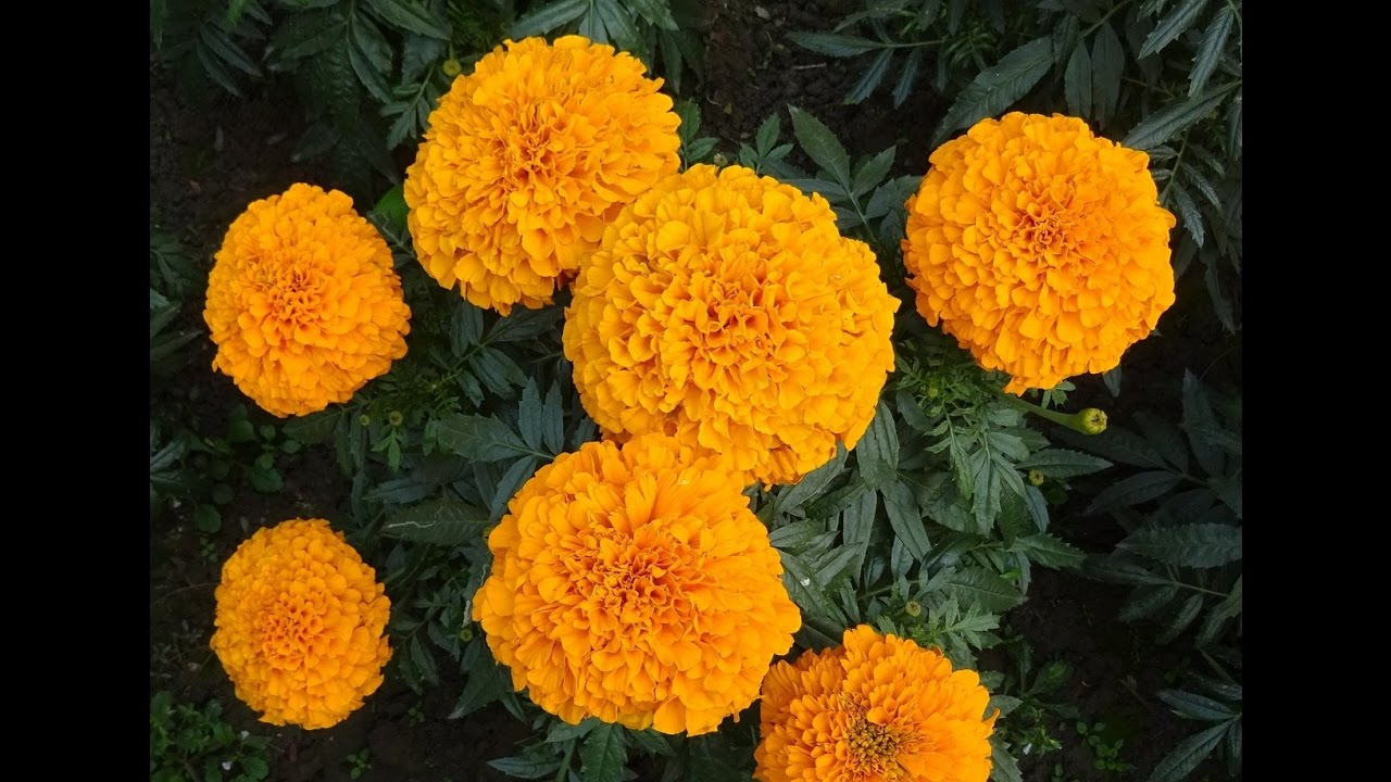 Amazing And Most Beautiful Marigold Flowers Pictures Youtube