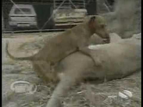 كلب يجامع لبوة الأسد