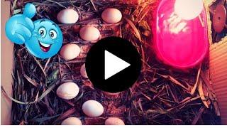Philippine Homemade Incubator - Easy Egg Hatching!