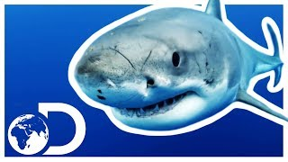 Incredible Facts About The Great White Shark! | Discovery UK