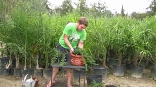 **Plant Blue Pacific Juniper Shrubs** ++ Correctly ++Juniperus conferta++