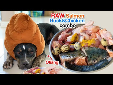 oliang-with-poo-head-hat-eats-salmon,-duck&chicken-combo-[asmr]-|-b.a.r.f-|-mukbang-犬が生の肉を食べる-4k