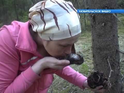 Сюжет   Чудо грибы Саркосома)