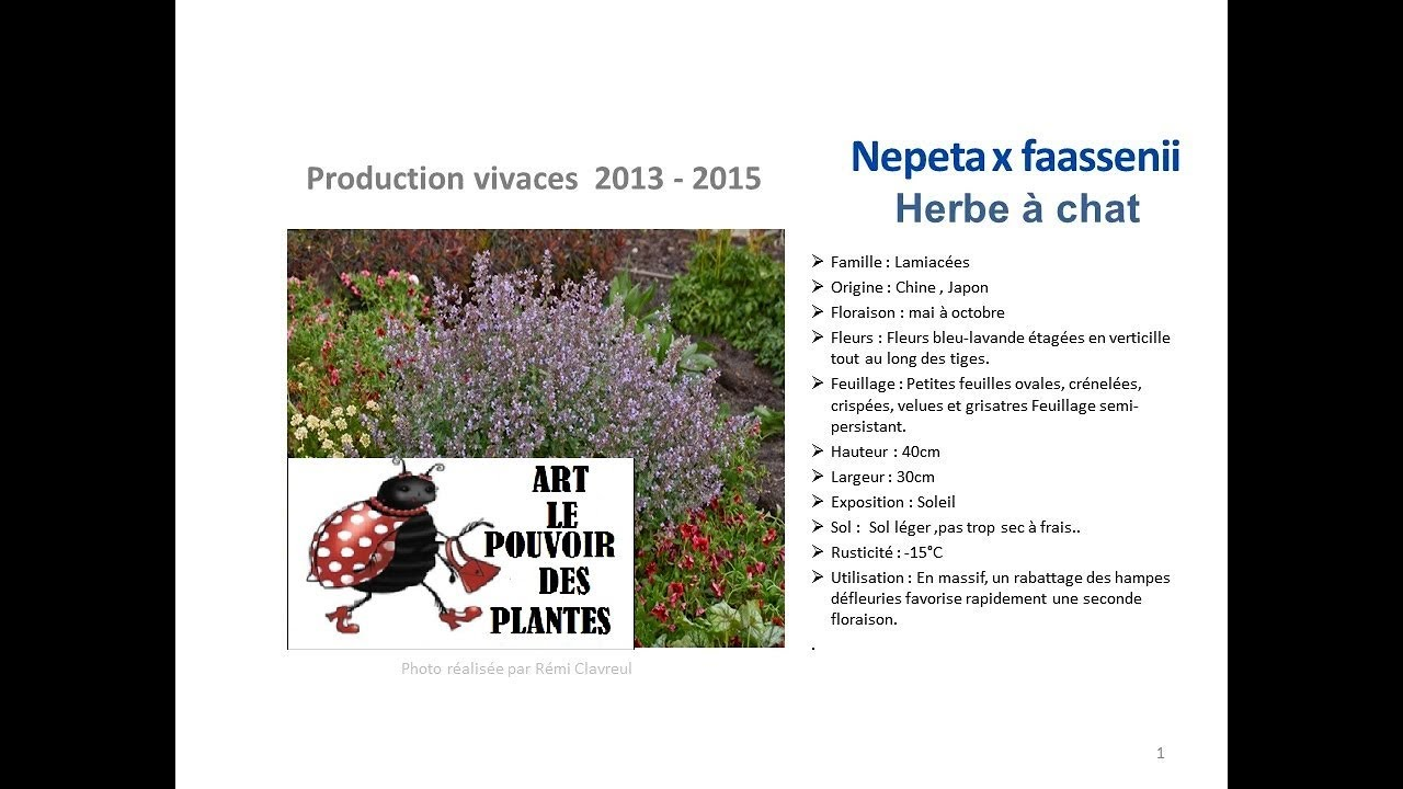 Jardinage nepeta x faassenii herbe chat plante vivace youtube - Herbe a chat ...