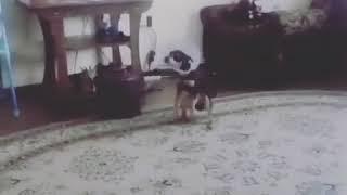 Пёсик после снятия гипса начинает хотеть на лапках