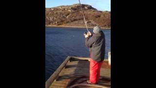 Halibut attack on coal fish