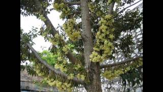 Growing of Durians (HD1080p)