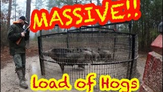 Скачать MASSIVE LOAD OF WILD HOGS The Big Pig Trap Quot At Hollis Farms