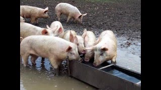 a documentary about pig meat and pork health side effects problems for body and dangers