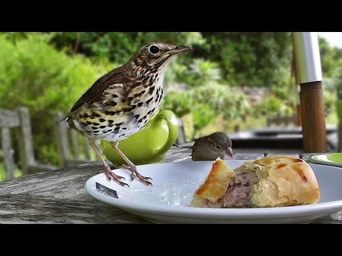 Song Thrush Bird Nibbles My Sausage Roll