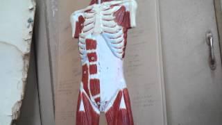 Мышцы груди. Мышцы спины. Мышцы живота. Анатомия. Урок 1(Фонендоскопы, скальпели, аптечки, хиругические наборы для отработки навыков шиться в нашей группе вк https://goo..., 2012-11-27T04:04:51.000Z)
