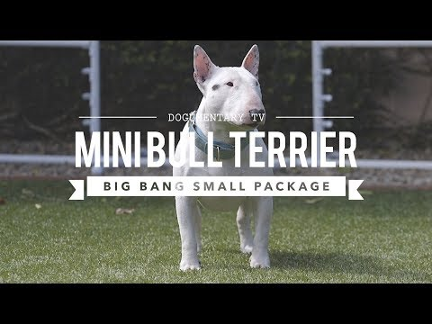 ALL ABOUT MINIATURE BULL TERRIERS: CUTE AND POWERFUL