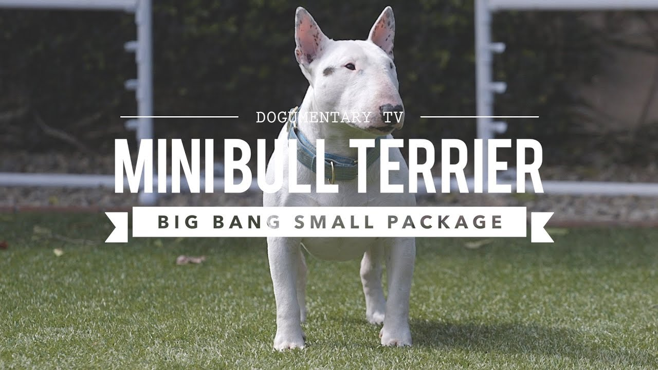 all about miniature bull terriers cute and powerful youtube