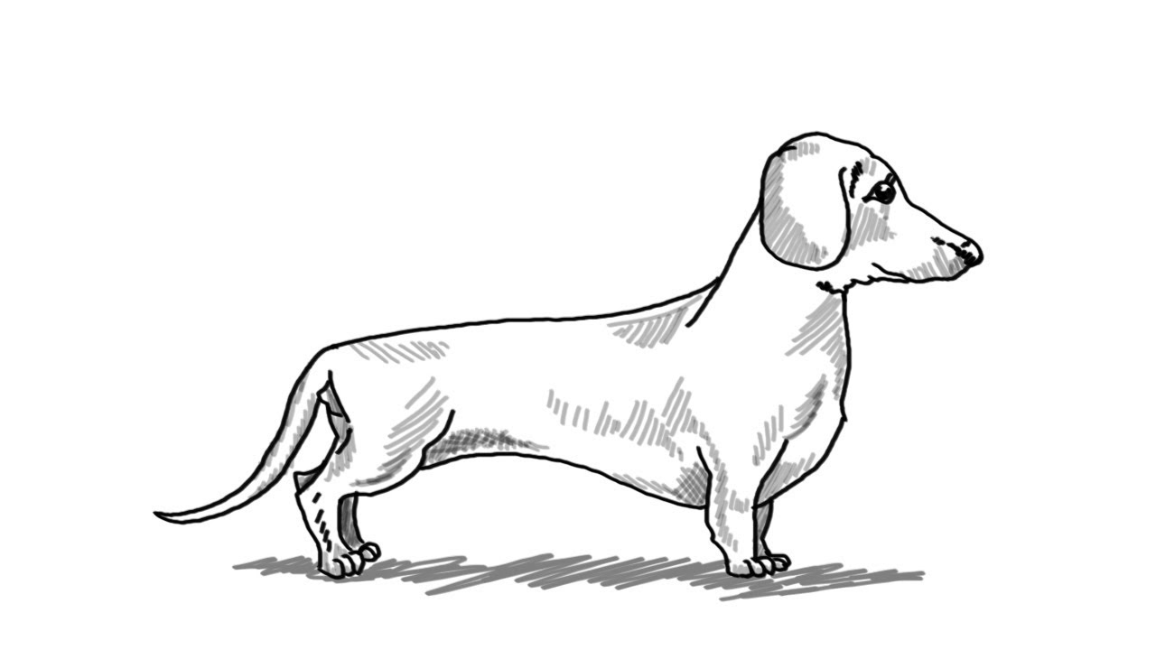 How to draw a dachshund dog step by step