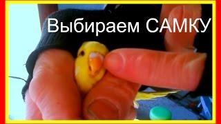 Выбираем самку волнистого попугая/Пара для волнистого попугая #Птицы