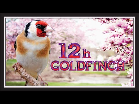 12h  New Goldfinch Training Song (3rd Place)