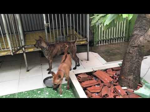 chu kỳ sinh sản của chó phú quốc, hướng dẫn cách nhận biết và phối giống chó.