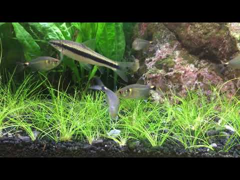 Head And Tail Light Tetras (Beacon Fish)