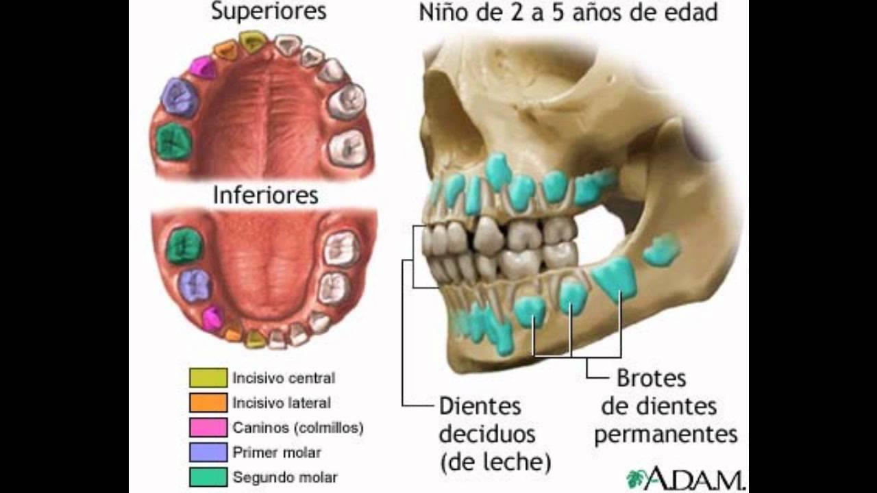El Diente, Anatomia, Función, cuidados...wmv - YouTube