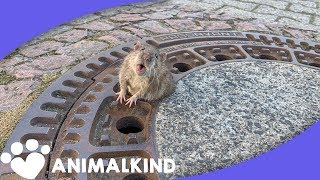 Firefighters Called In To Free Rat From Manhole | Animalkind