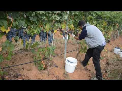 Evans Creek Vineyard Grape Harvest