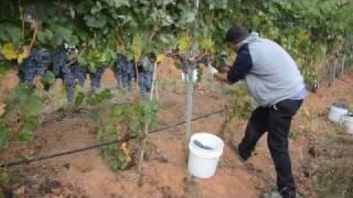 Evans Creek Vineyard Grape Harvest