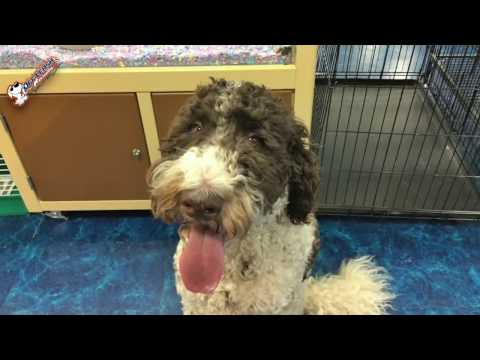 "9 Month Old Labradoodle ""Sullivan"" Before/After Video 