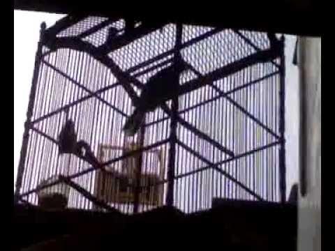 Cucak Jenggot Medan Gacor Suara Tengkek 2 ( Birds Song )