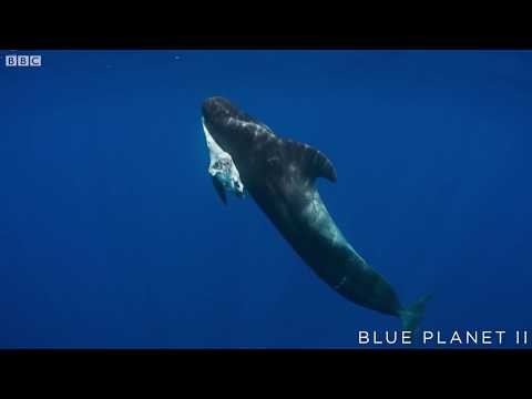 Mother pilot whale grieves over her dead calf  - The Blue Pl